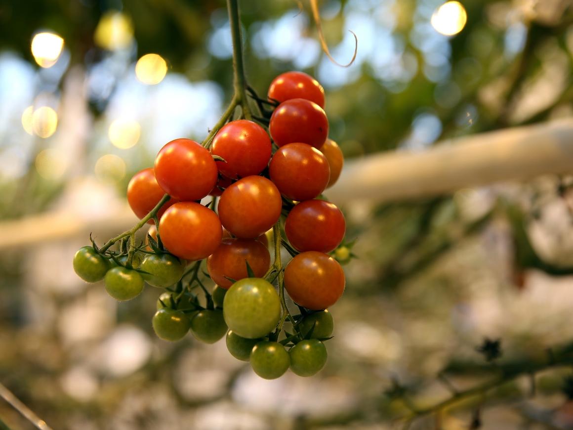 Весна, витамины! Томатов в России станет больше