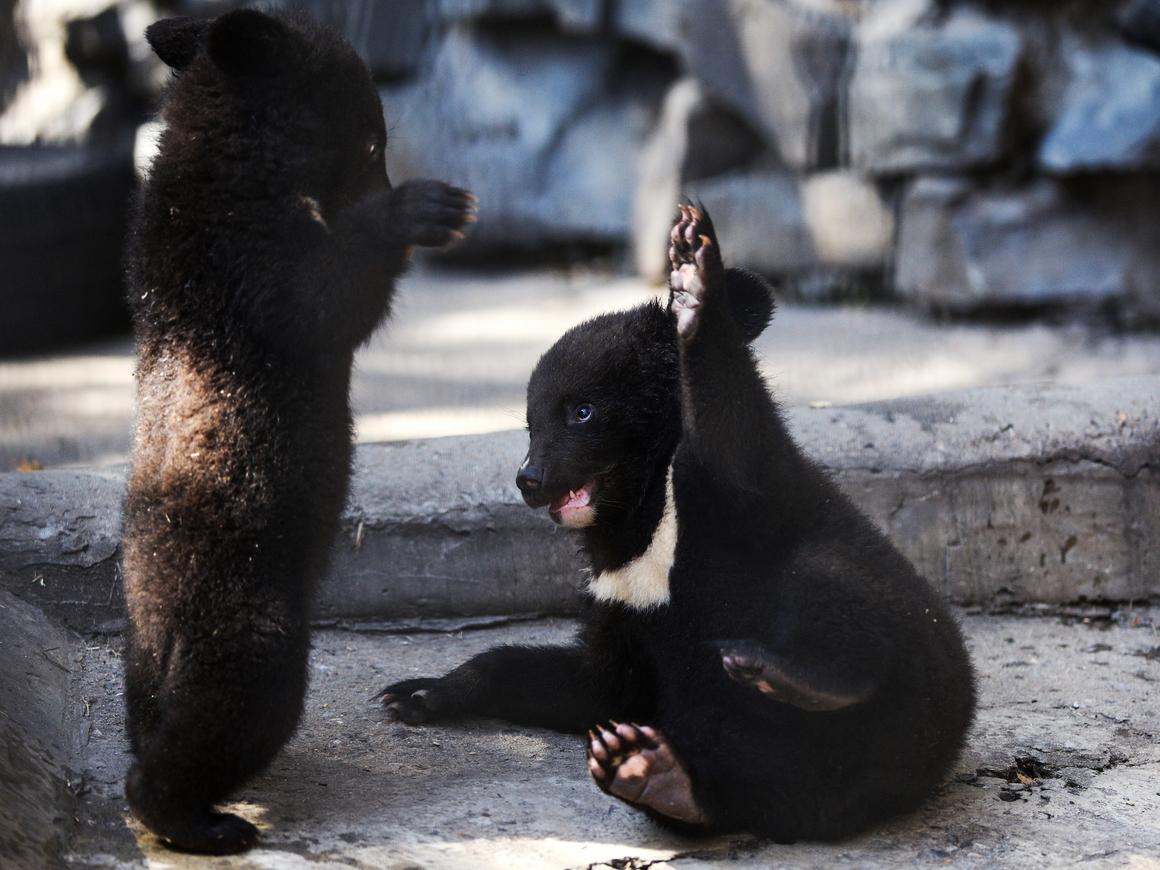 Собака превращается в медведя. Добрая история про гималайского мишку из Китая