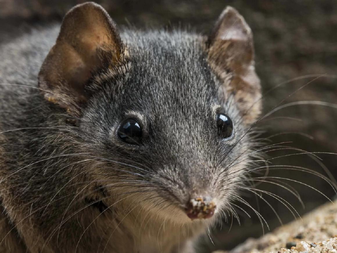 Секс-марафоны опасны - так сумчатые мыши в Австралии вымирают