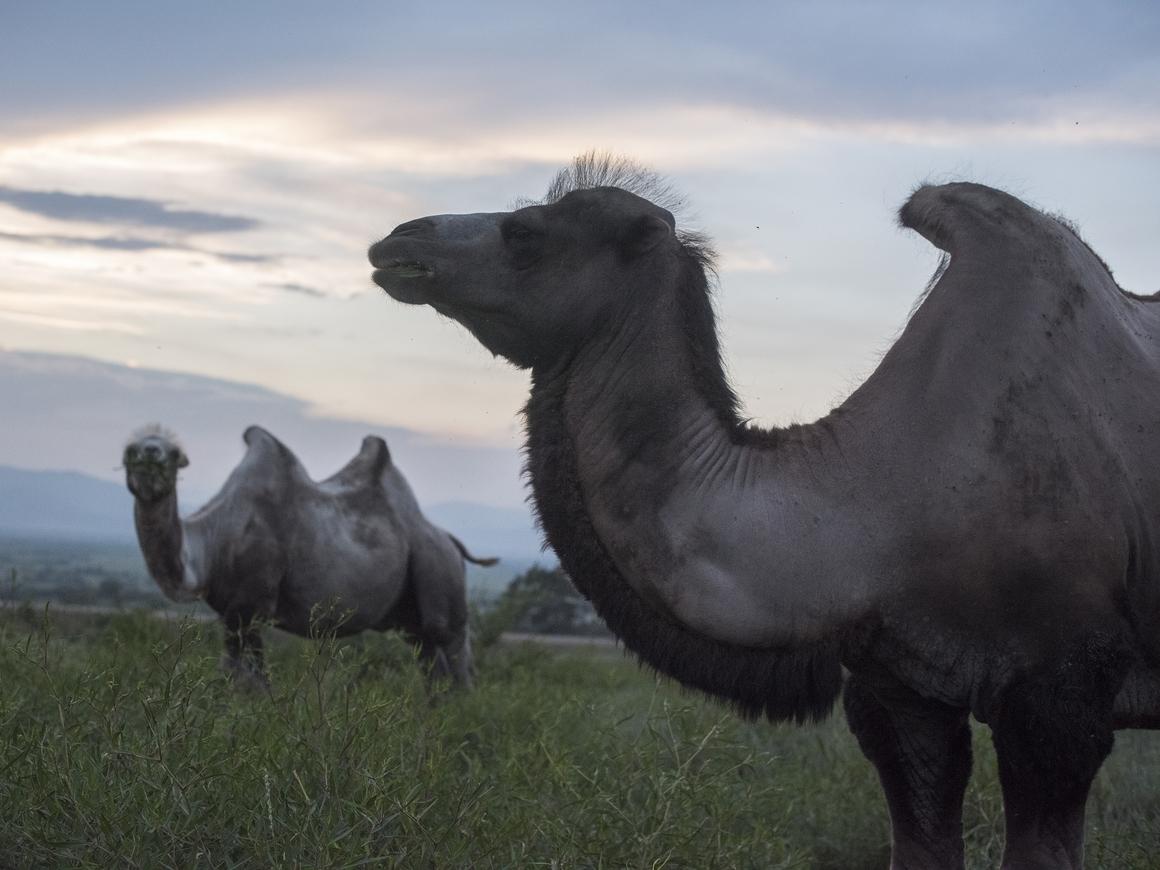 Великий верблюжий путь: монгольская активистка поехала в Лондон на верблюдах