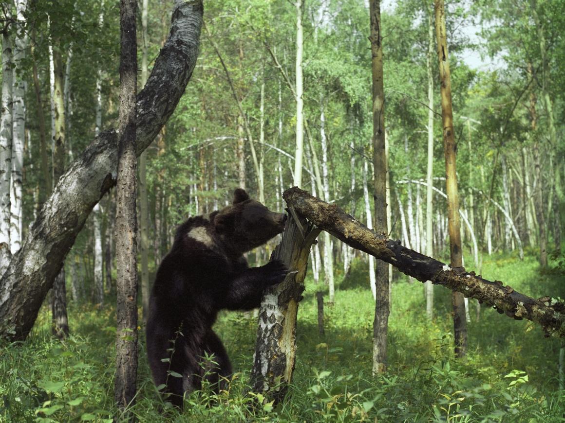 Пропавших в лесу подростков нашли по медвежьим следам. Живыми