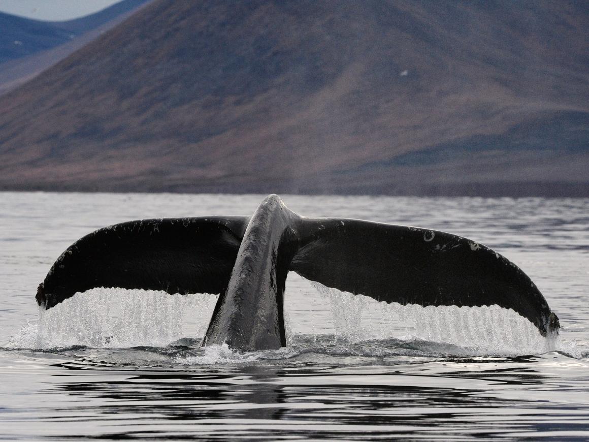 Невероятная жестокость японских ученых: для исследования забито более 300 китов