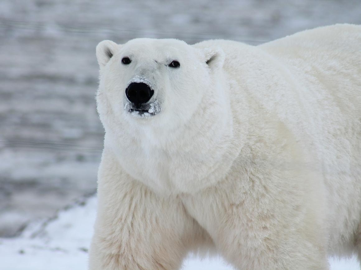 Норвежский Винни Пух: медведь объелся шоколадом и застрял в окне (видео)