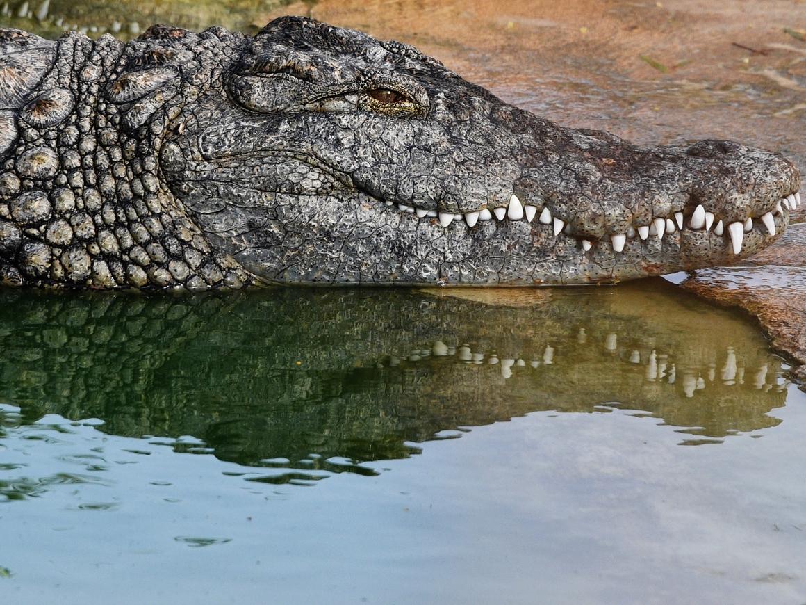 Headshot! - В США пойманный аллигатор вырубил ловца, пытаясь спастись