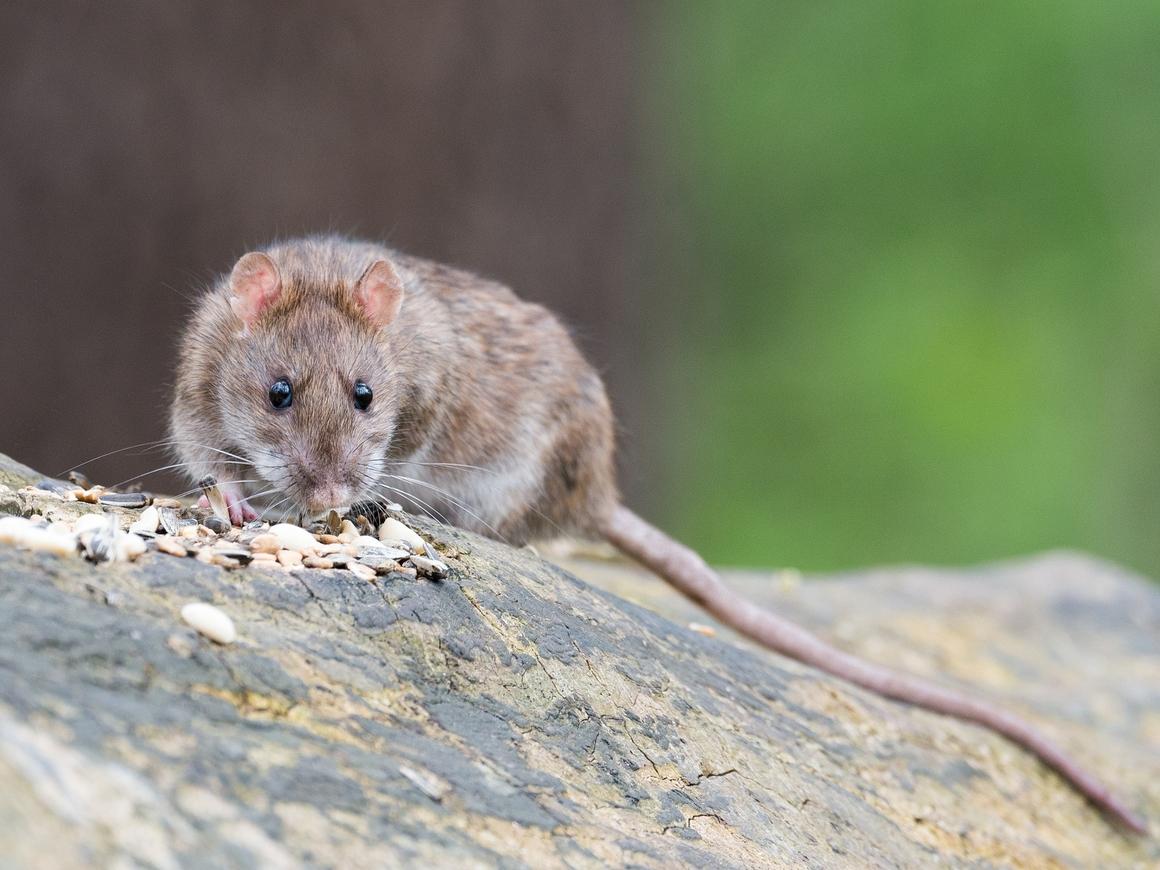 Не съем, так понадкусываю: крысы уничтожили более миллиона рупий в Индии (фото)