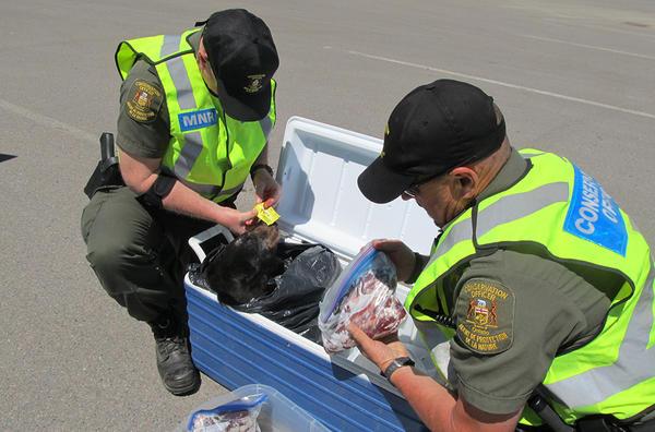 Полиция изымает мясо белого медведя в Канаде