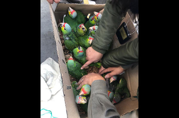 Птицы, которых хотели незаконно вывезти из Мексики