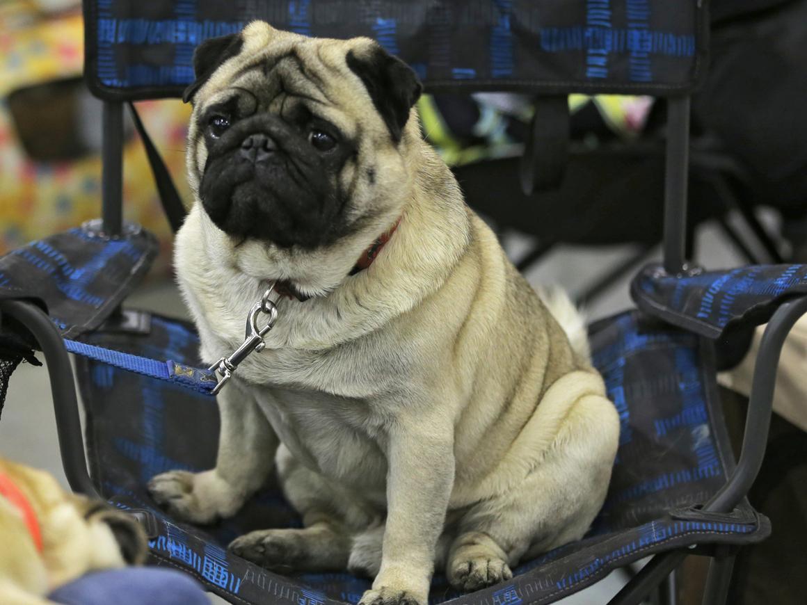 Посмотрите на эту прелесть: в США выбрали самую уродливую собаку в мире (видео)