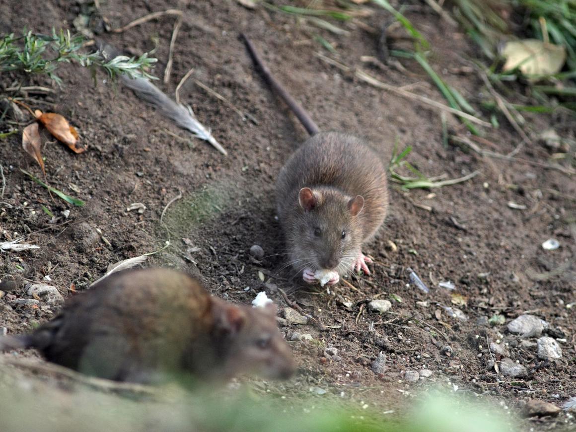 В Нью-Йорке крыс душат сухим льдом. Очень эффективно и экологично, между прочим
