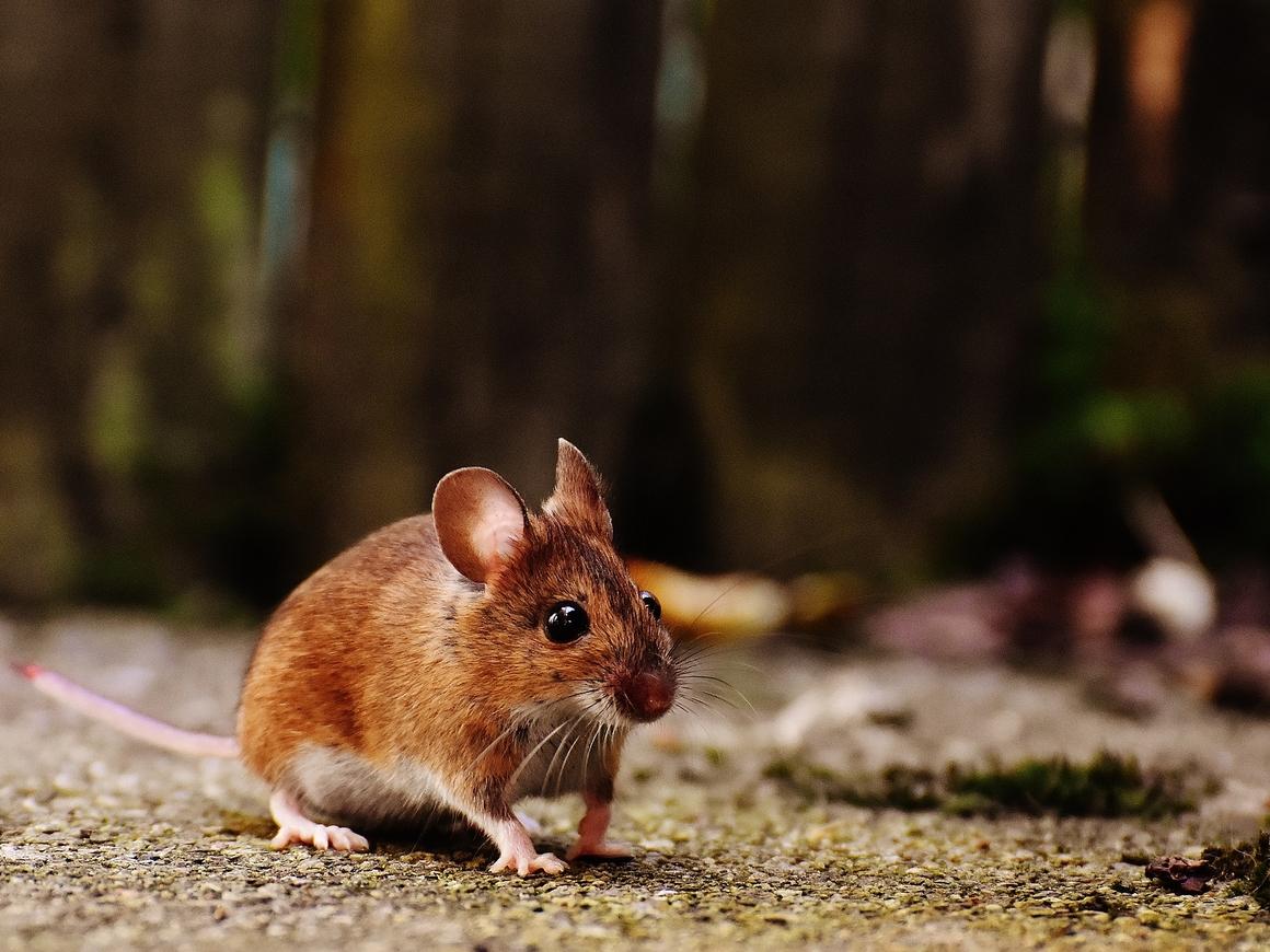 """У употреблявших каннабис мышей мозг """"молодел"""". Так и Альцгеймер победим!"""