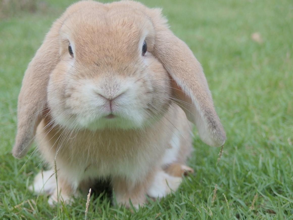 В австралийский аэропорт приехали сапёры, чтобы обезвредить кролика