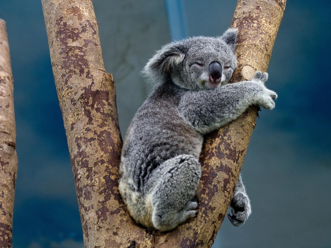 Миссия на 5 лет: коал спасают от венерических заболеваний