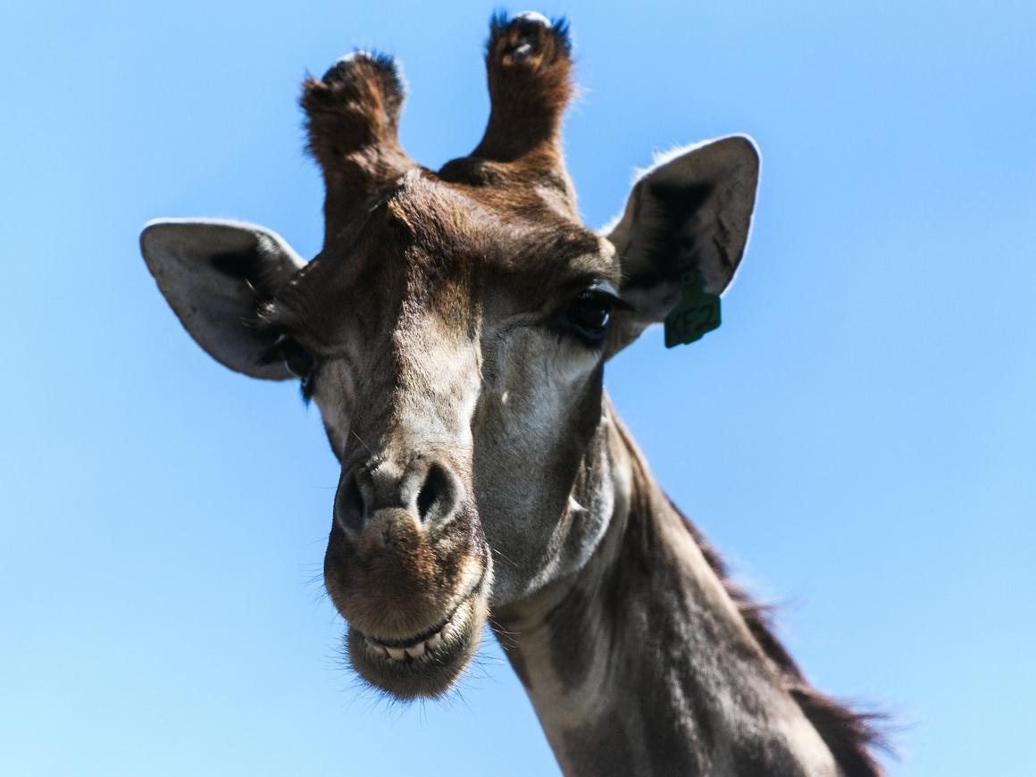 Женщина похвасталась трофейным жирафом, и теперь её все ненавидят (фото)