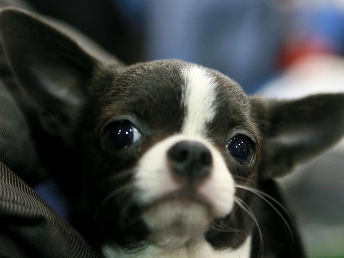 Чихуахуа клонировали 49 раз: больше крошечных собачек! Больше!!!