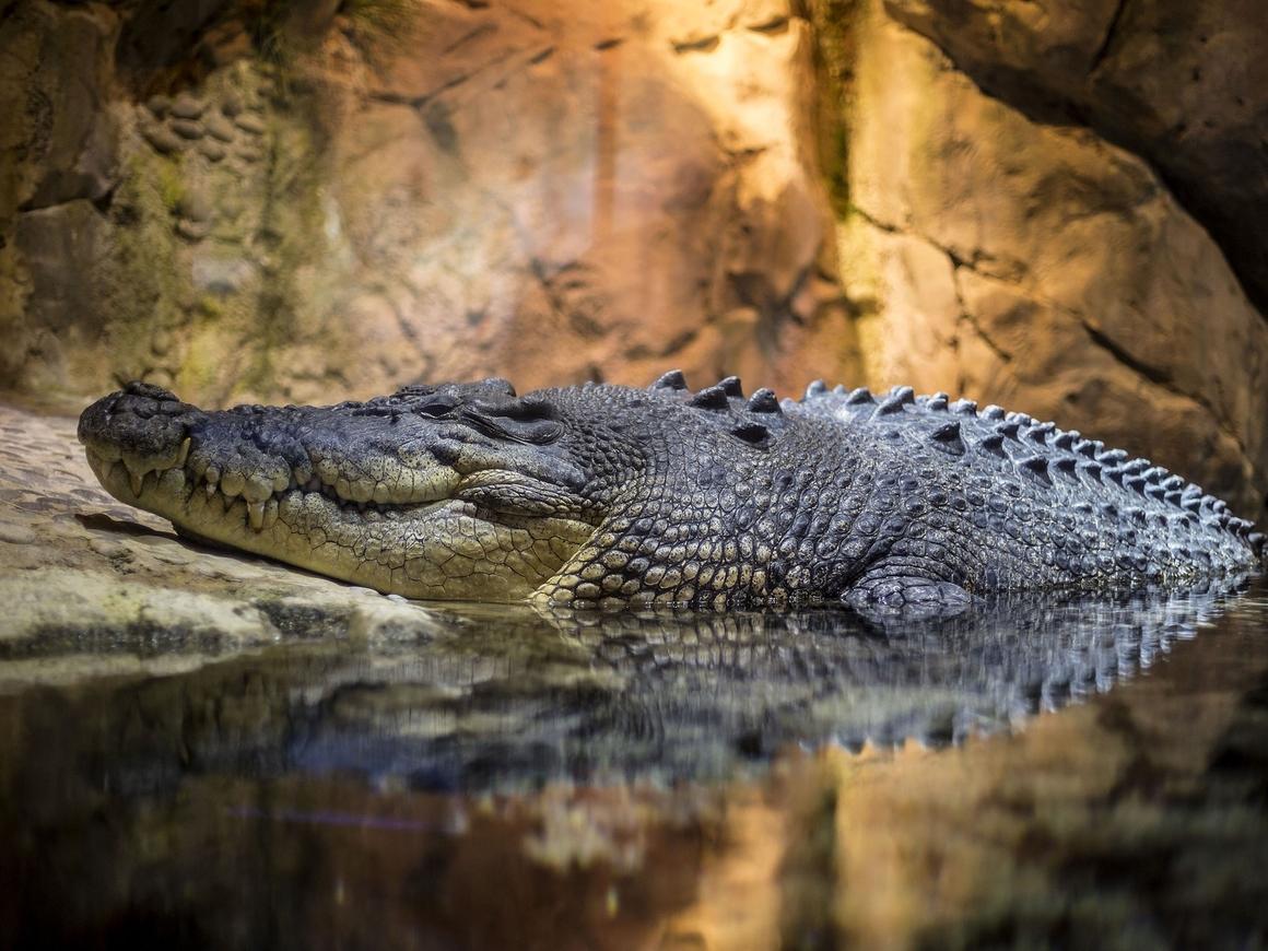 В Австралии рейнджеры поймали гигантского крокодила. Он был в розыске с 2010