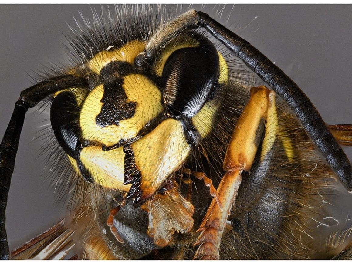 Ужасные осы из лесов Амазонки: жало в два раза больше, чем само насекомое