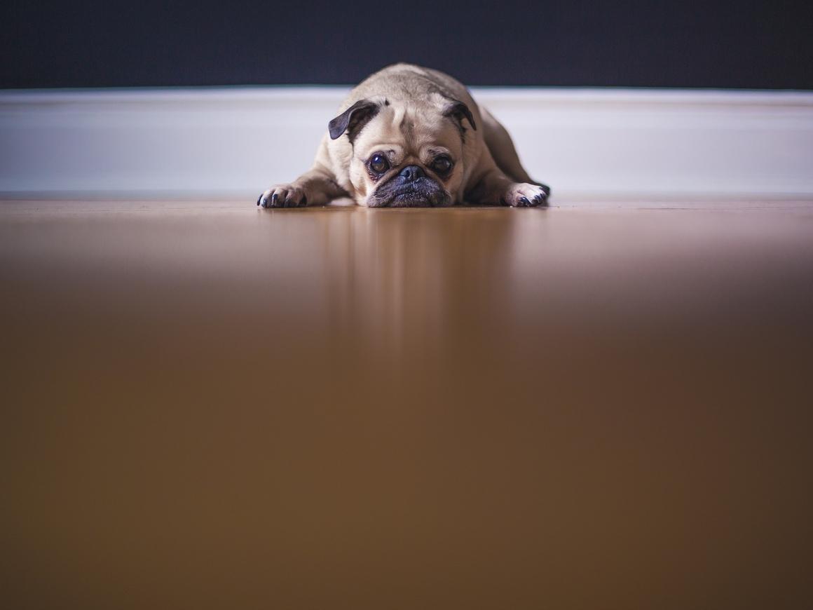 Последний путь мопса: женщина ушла с работы, чтобы порадовать умирающего пса