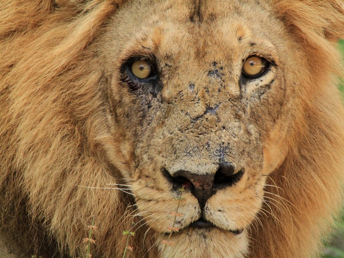 Традиционной медицине нужны мёртвые львы - и поставки их костей из ЮАР удвоятся