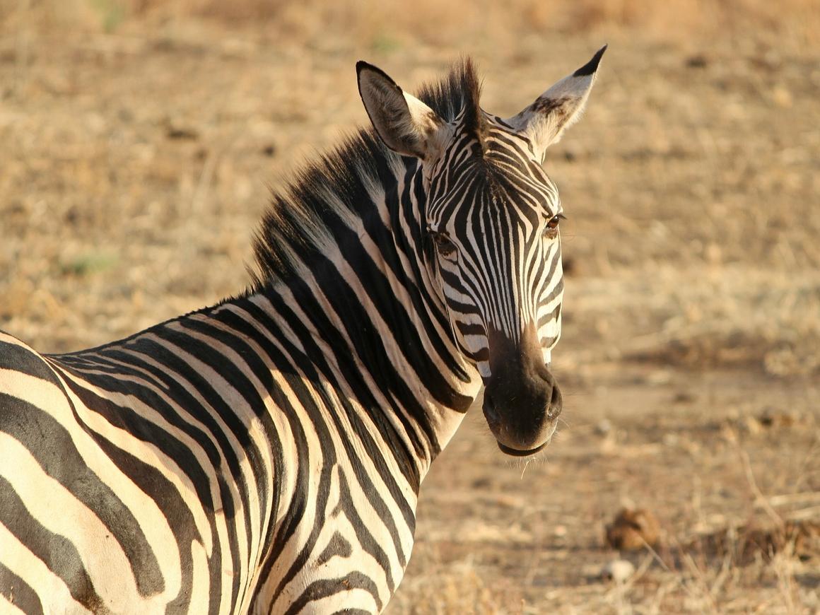 В зоопарке Египта осла покрасили и выдавали за зебру