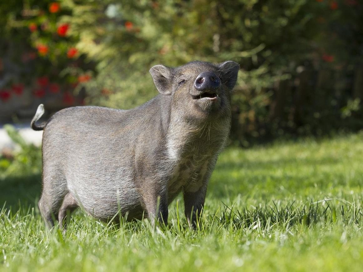 Румынский министр с/х сравнил сжигание свиней с Аушвицем. Теперь извиняется