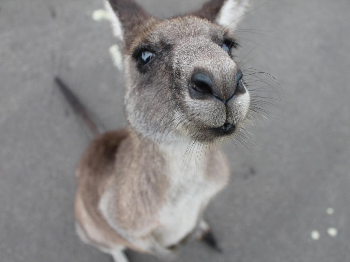 Австралию терроризируют банды кенгуру. А им просто кушать хочется (фото, видео)