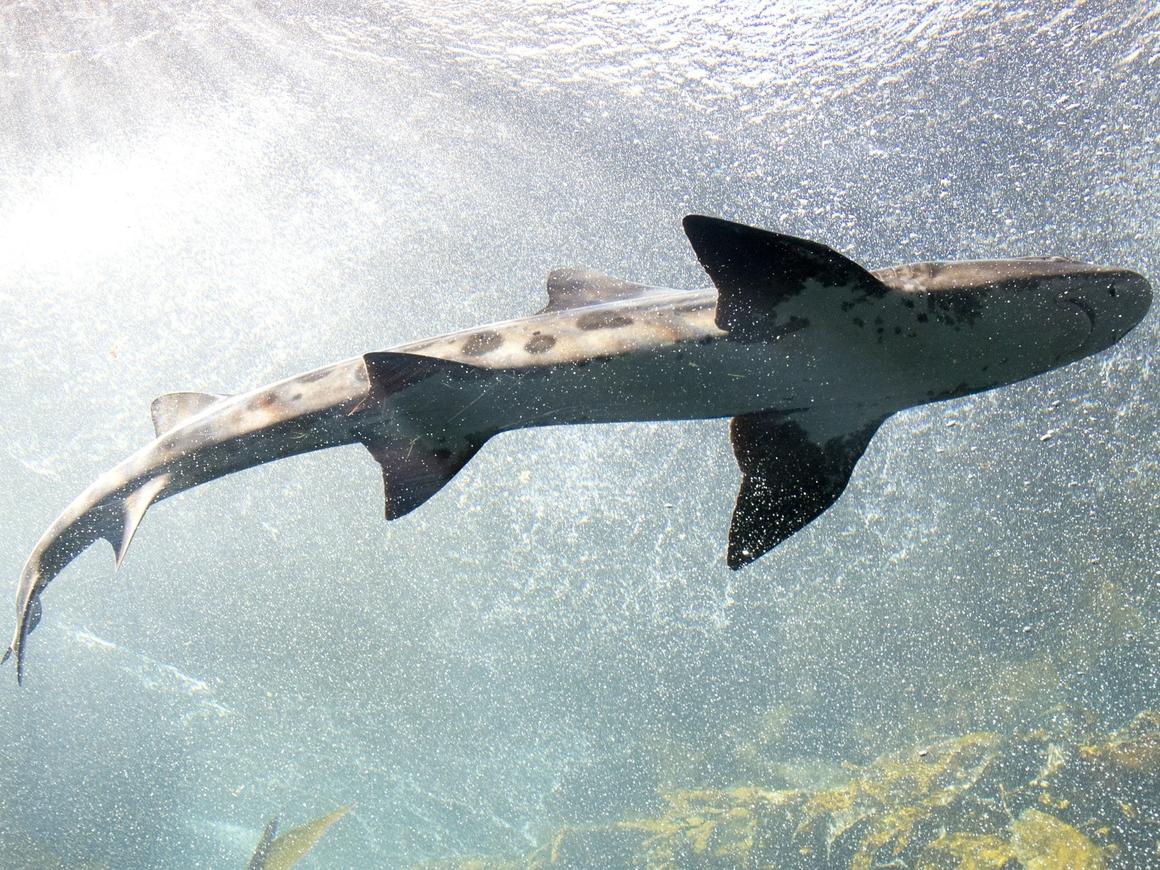 История невероятного похищения и счастливого возвращения акулы (видео)