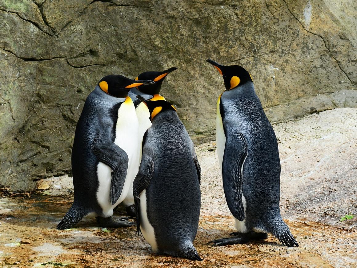 Королевские пингвины умирают: за 30 лет их численность сократилась почти на 90%
