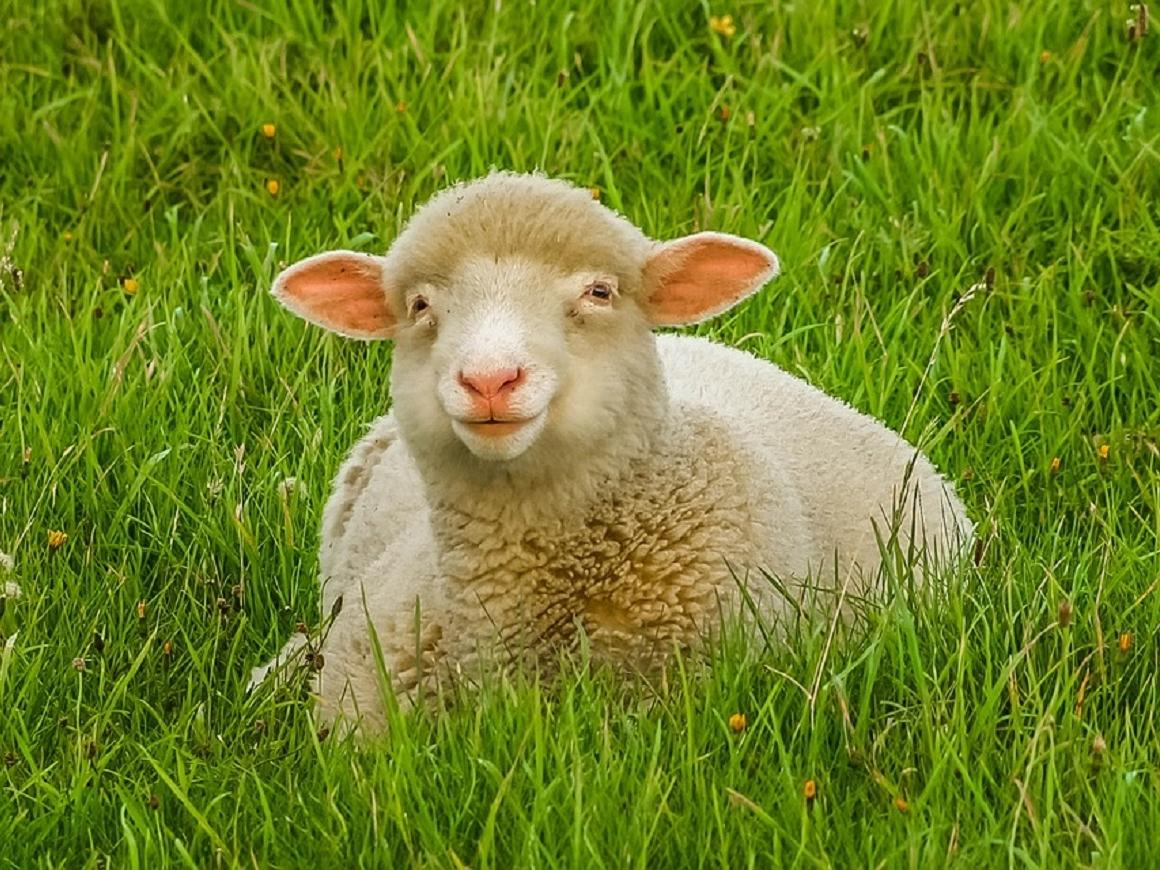 Не под нож, а на подиум: в Дагестане прошел конкурс красоты среди овец