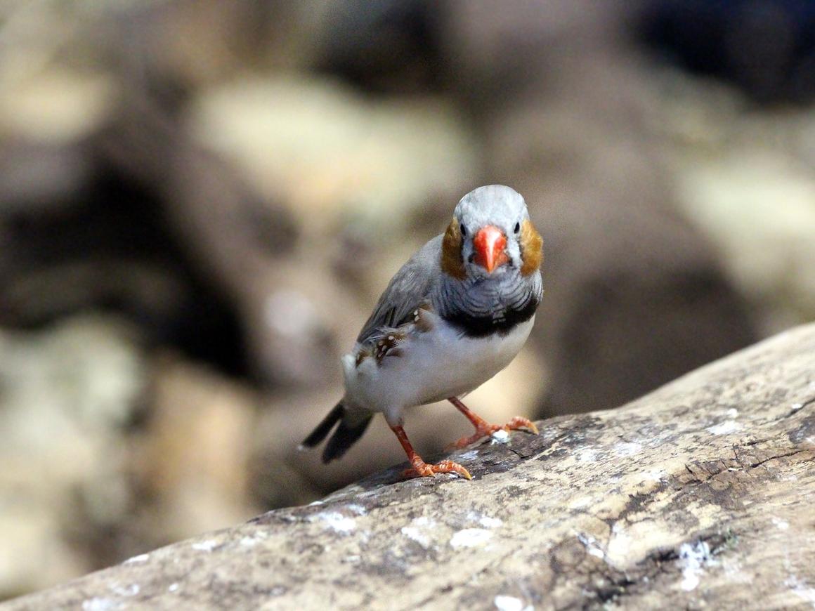 Учёные выяснили, что птицы стареют быстрее из-за шума города