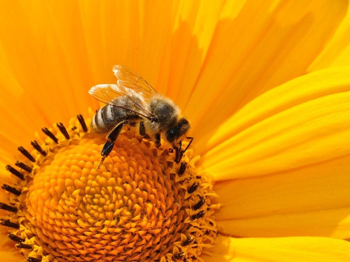 Пестициды вызывают зависимость у пчёл: почему это опасно для человека?