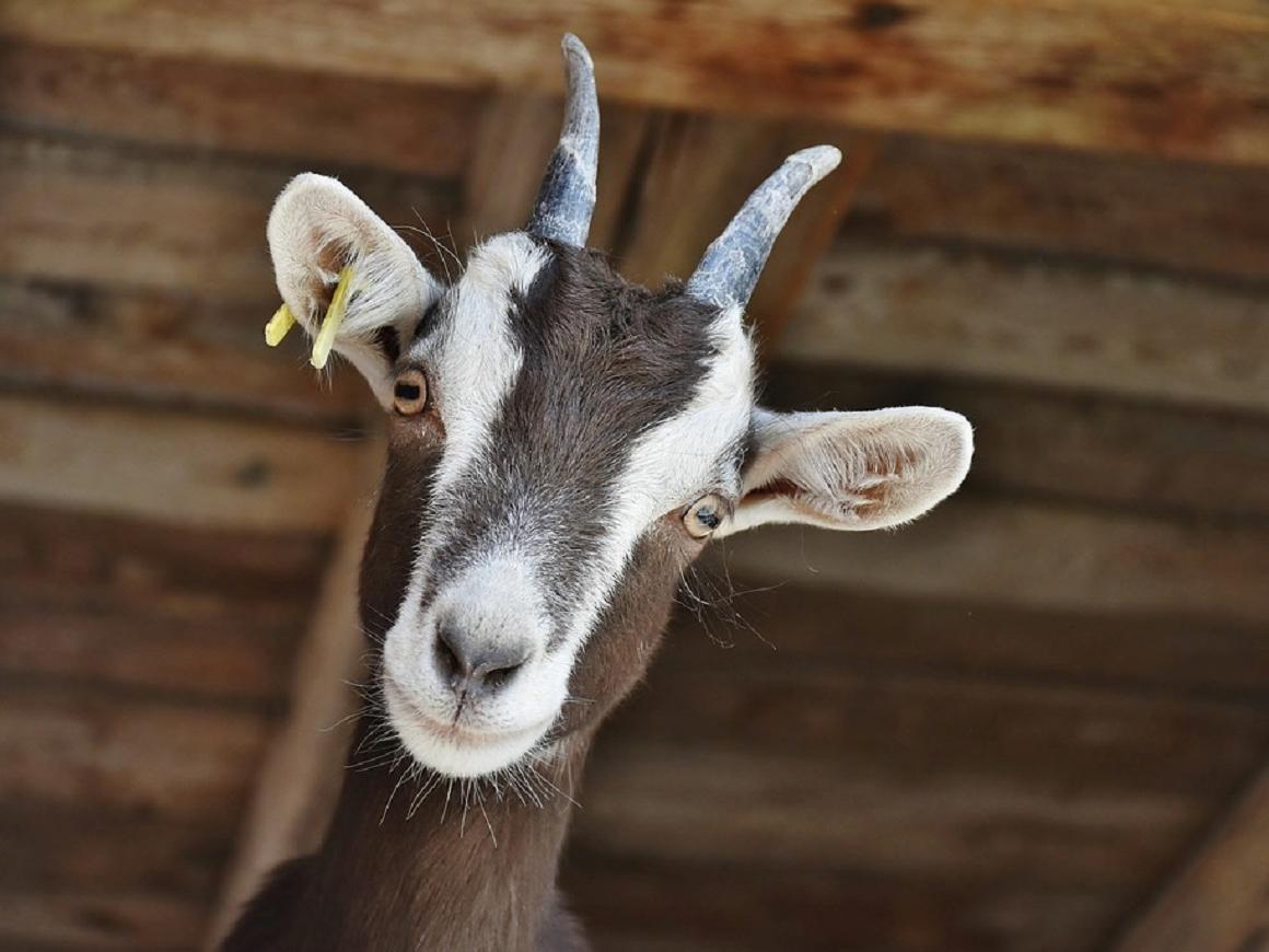 Улыбайтесь, на вас смотрят козы: они распознают эмоции и любят счастливых людей