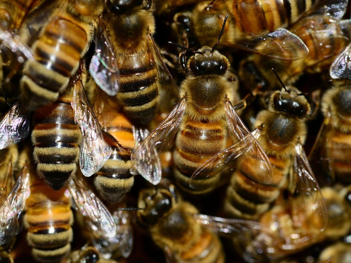 В США 40 000 пчёл устроили улей на лотке с хот-догами. Просто слишком жарко
