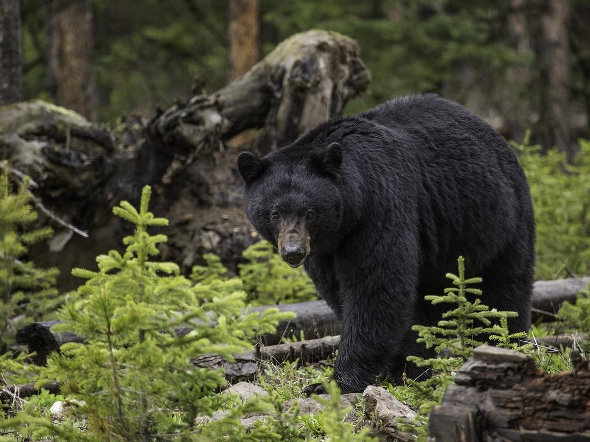 В США медведь помешал доставить посылку. Местные говорят, что это нормально