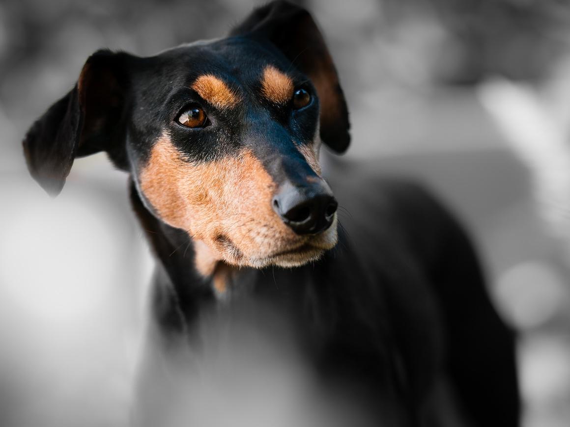 Чили: ничего необычного, просто собака путешествует сама на автобусе (видео)