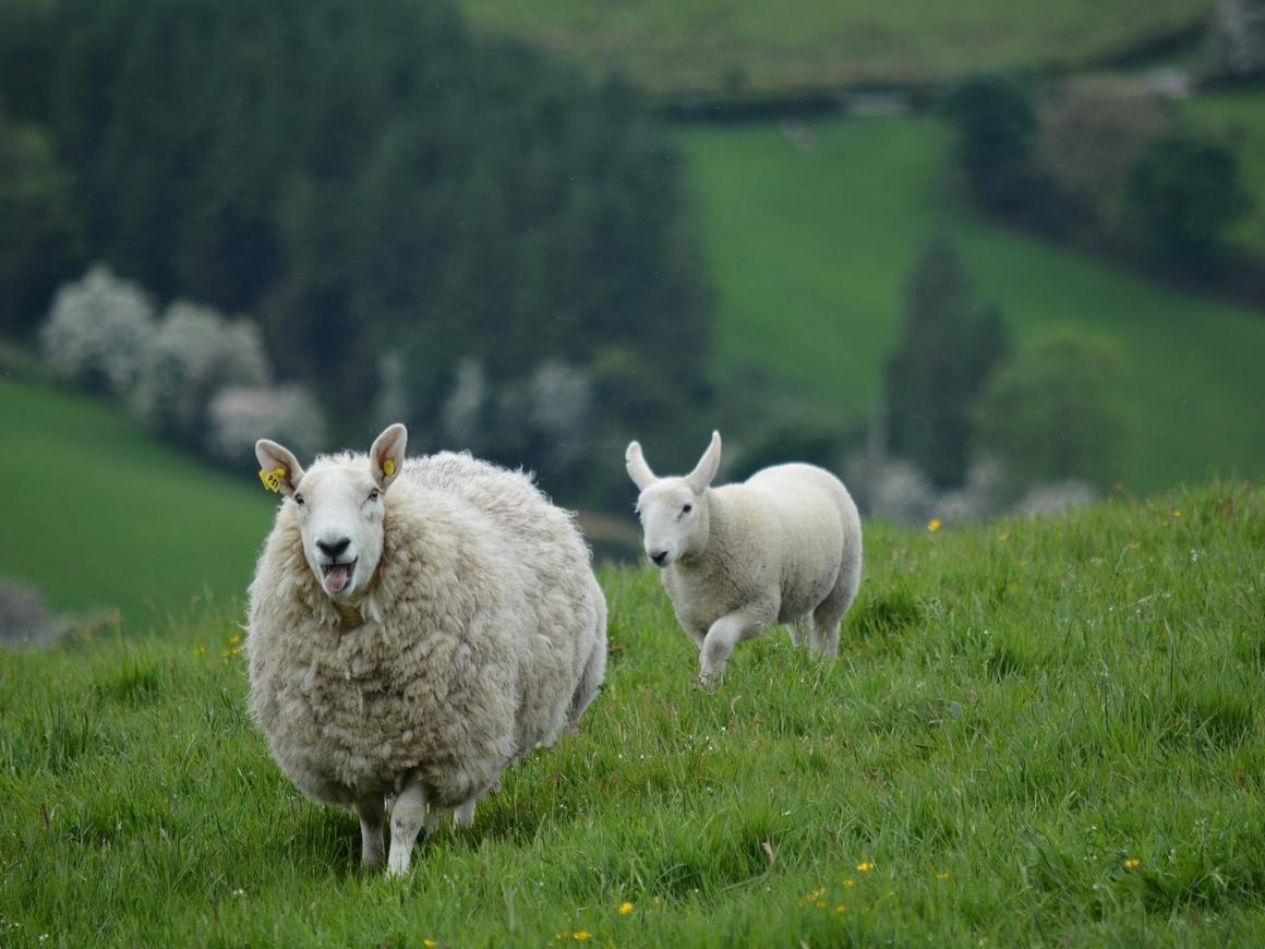 В Австралии овца ездит в машине. И это не оскорбление - реально овца