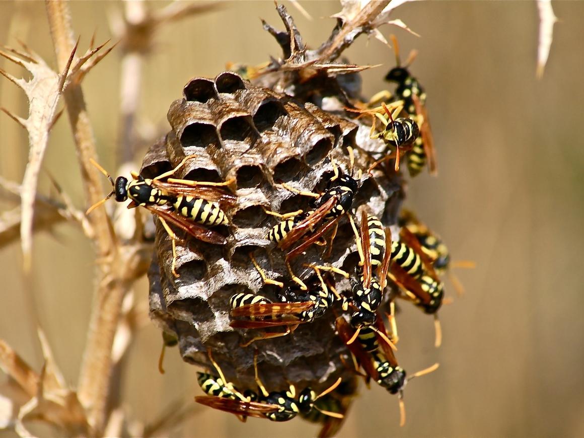 Почему все любят пчёл и жутко ненавидят ос? Они ведь ни в чём не виноваты