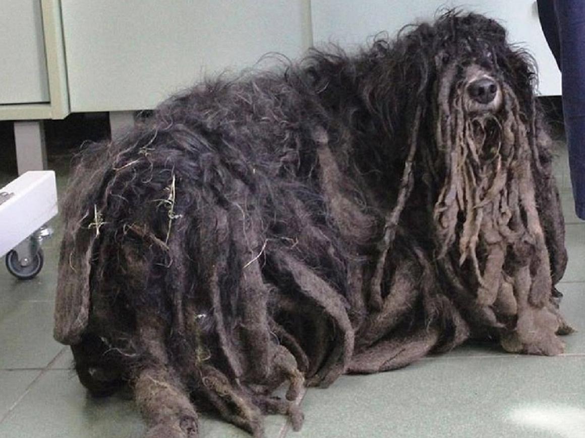 Зоозащитники спасли пса-растамана – дреды мешали ему жить (фото)