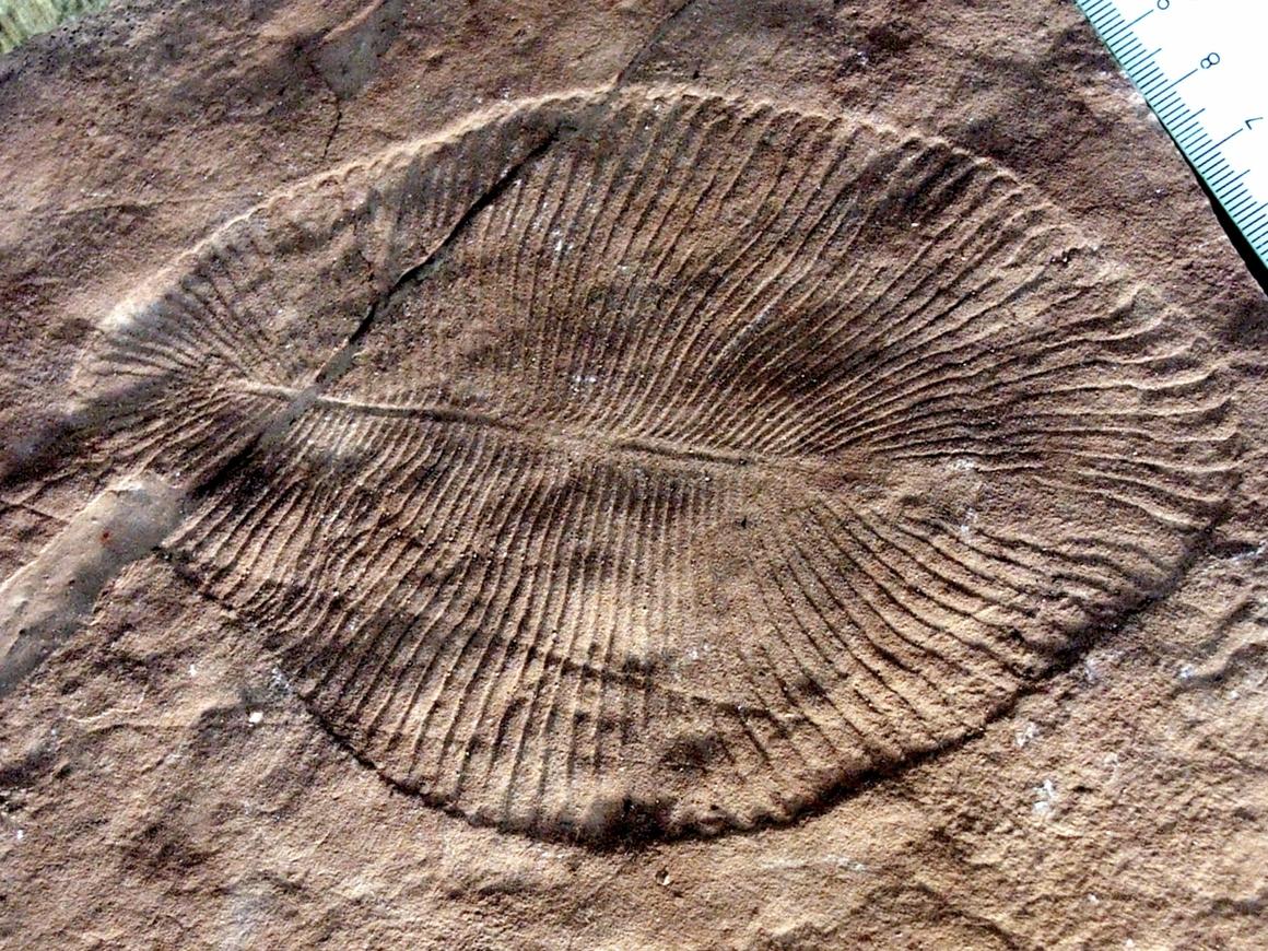 Конец спорам: самому древнему животному 558 млн лет и это дикинсония