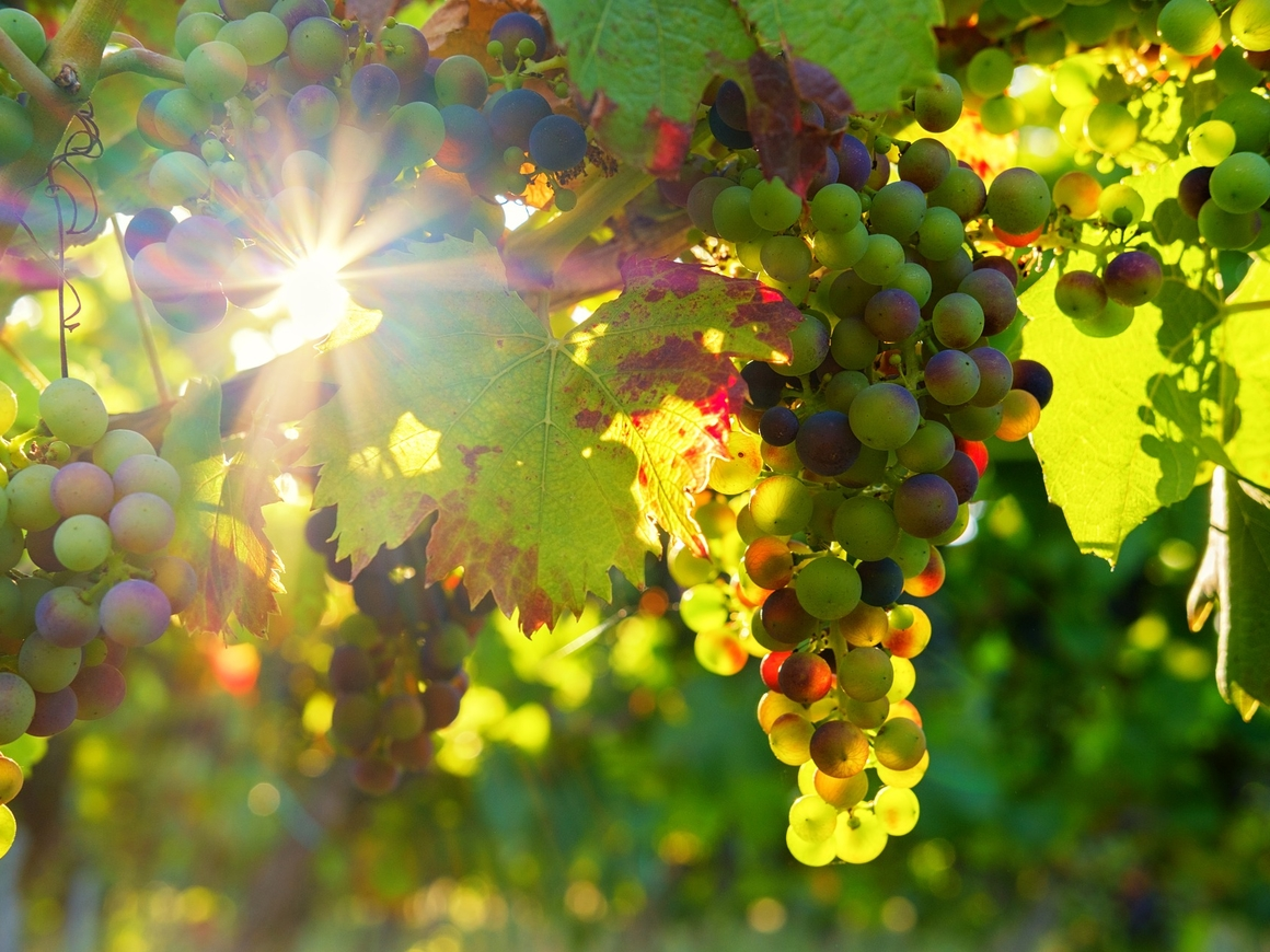 Кража века: в Германии преступники украли почти 2 тонны винограда с винодельни