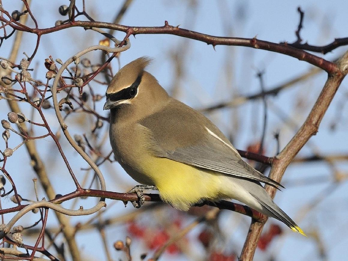 В Миннесоте птицы бьются в окна, деревья и падают с веток. Кажется, птички пьяны