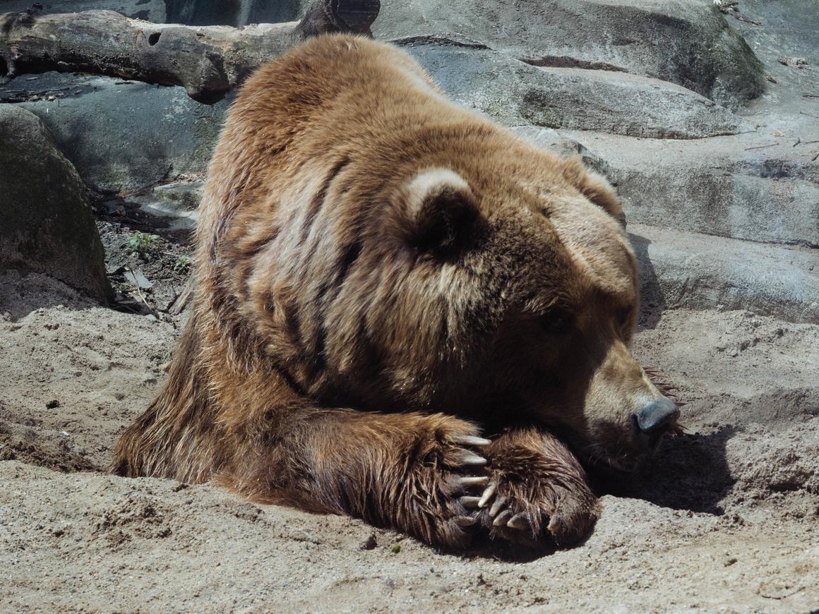 """На Аляске устраивают """"неделю жирных медведей"""". Победит самый упитанный миша"""