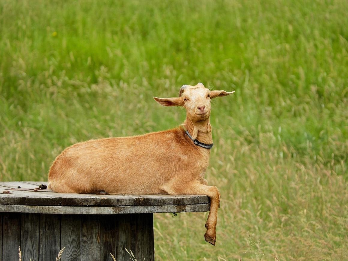 Козы-огнеборцы: на юге Европы с пожарами помогают бороться козы (видео)
