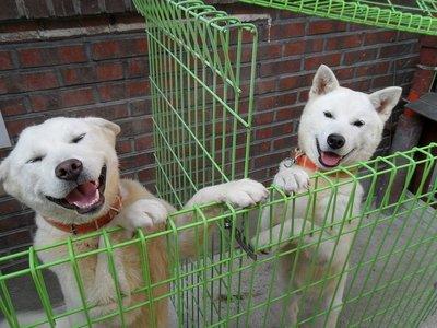 Дружба крепкая: собака-подарок из КНДР родила щенков в Южной Корее