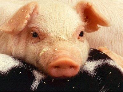 Новые успехи в области трансплантации свиных сердец. Скоро и до человека дойдут