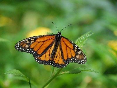 Бабочки-монархи в зоне риска — почему их всё меньше?