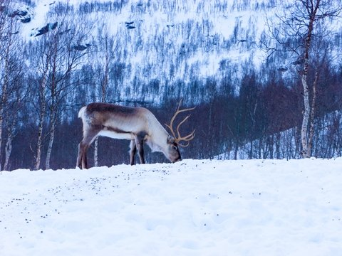 Глобальное потепление губит северных оленей: их популяция сократилась вдвое