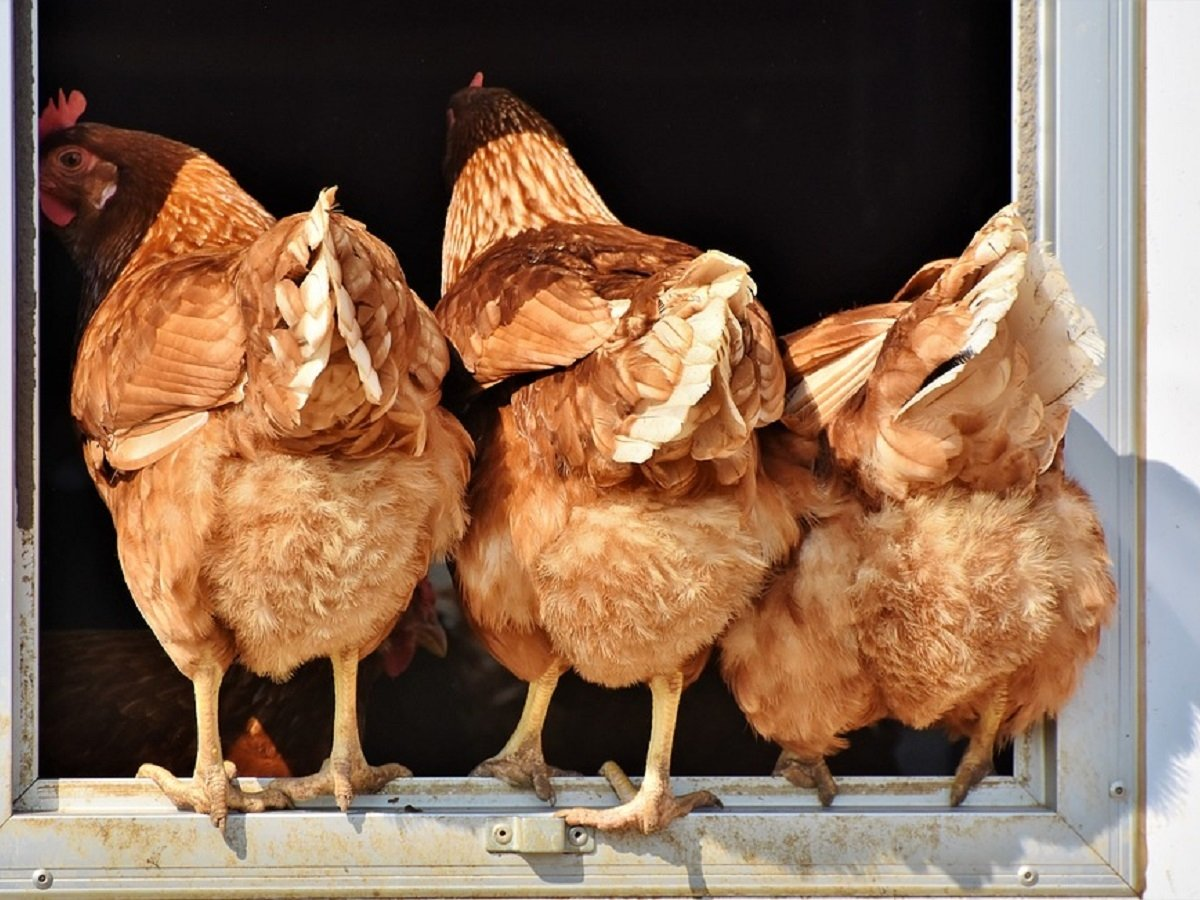 Курица — символ нового мира