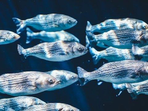 Рыбку из Японии нашли в Калифорнии. Она проплыла 8 000 километров
