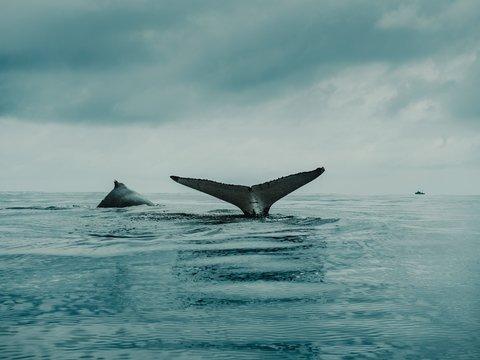Япония хочет крови китов: она возобновит китобойный промысел в 2019