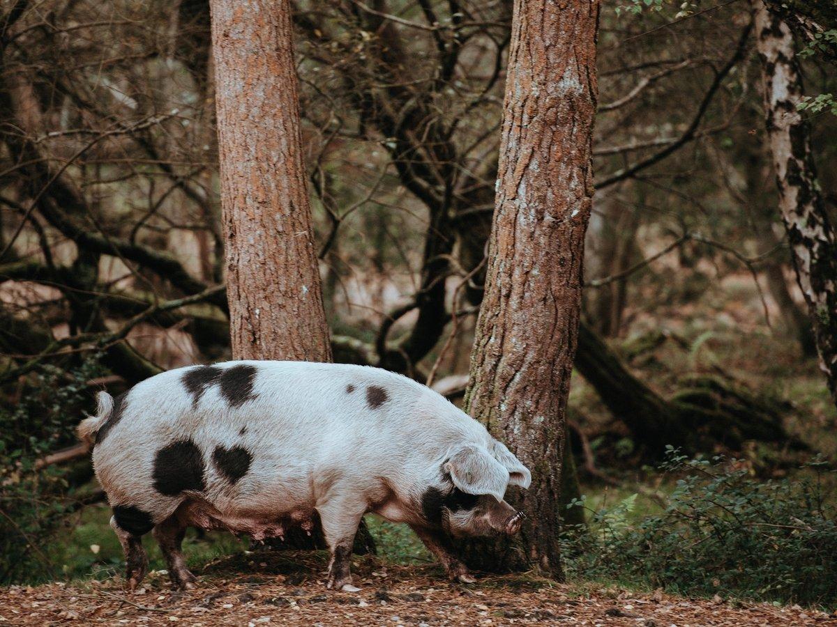 В Дании строят забор в 70 км — чтобы разные свиньи грипп не разносили